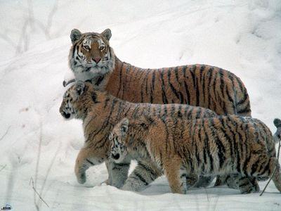 Больше тигров