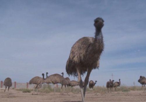 Фермер из туркестана готов удивлять заезжих туристов ручными страусами