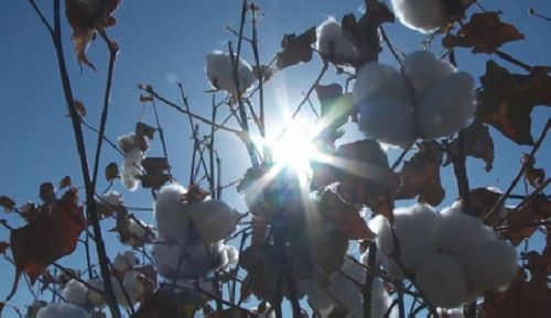 Экспериментальный урожай хлопка собрали в южном казахстане