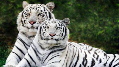 Нападающий «белых тигров» денис василенков: обожаю «точку морозова»