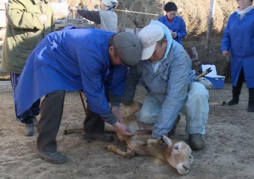 Сотни овец погибли от пастереллеза в атырауской области